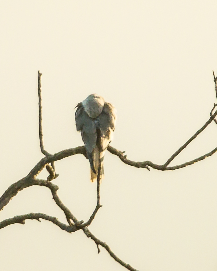And perched opposite the night heron was this mystery raptor.  The sun was coming up behind the birds.