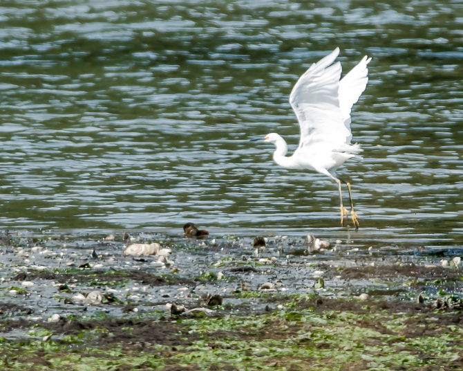 Snowy egret pretending to be a great white egret