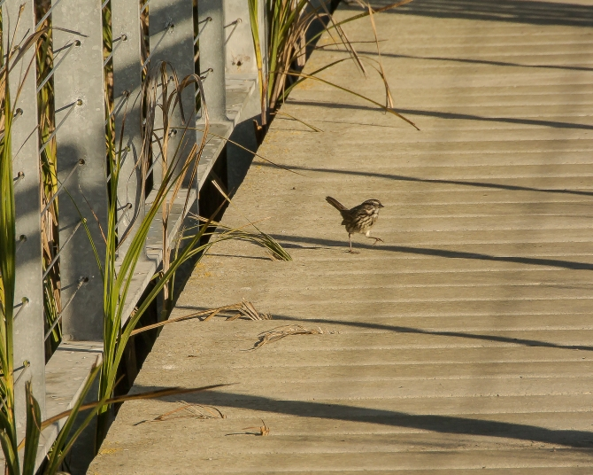 I couldn't resist another sparrow picture, especially against the lines in the boardwalk, railing and grass