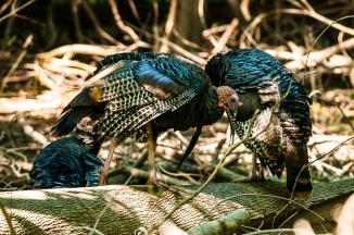 Turkeys preening