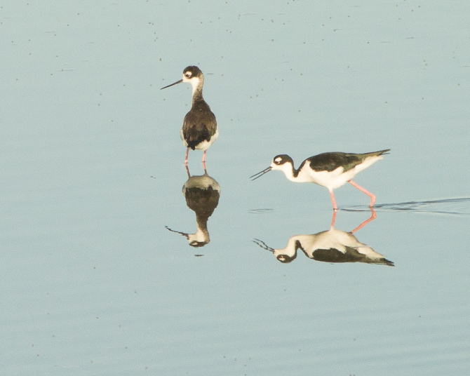 Alviso is famous for its black necked stilts.