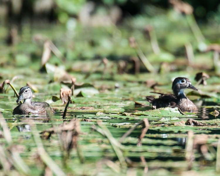 Young woodducks Ogilvie's Pond Aug 2013-1