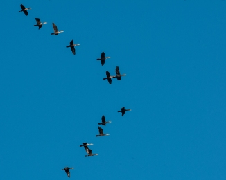 Cormorants on Hudson Oct 2013