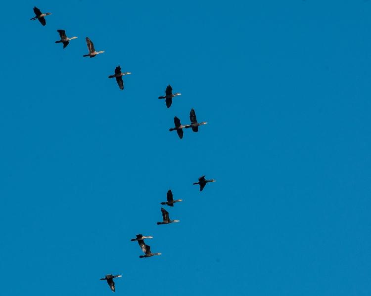 Cormorants on Hudson Oct 2013