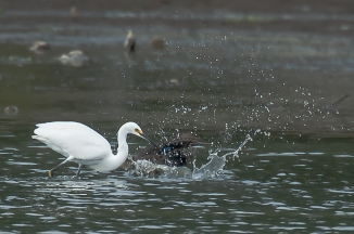 This snowy egret did not want that mallard fishing in its spot.