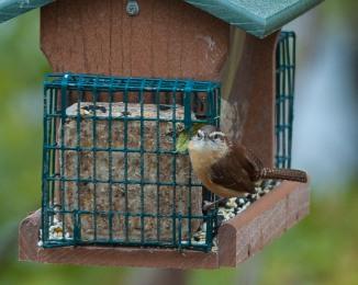 Carolina wren 2 at Croton