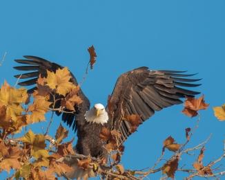 The famous eagle tree