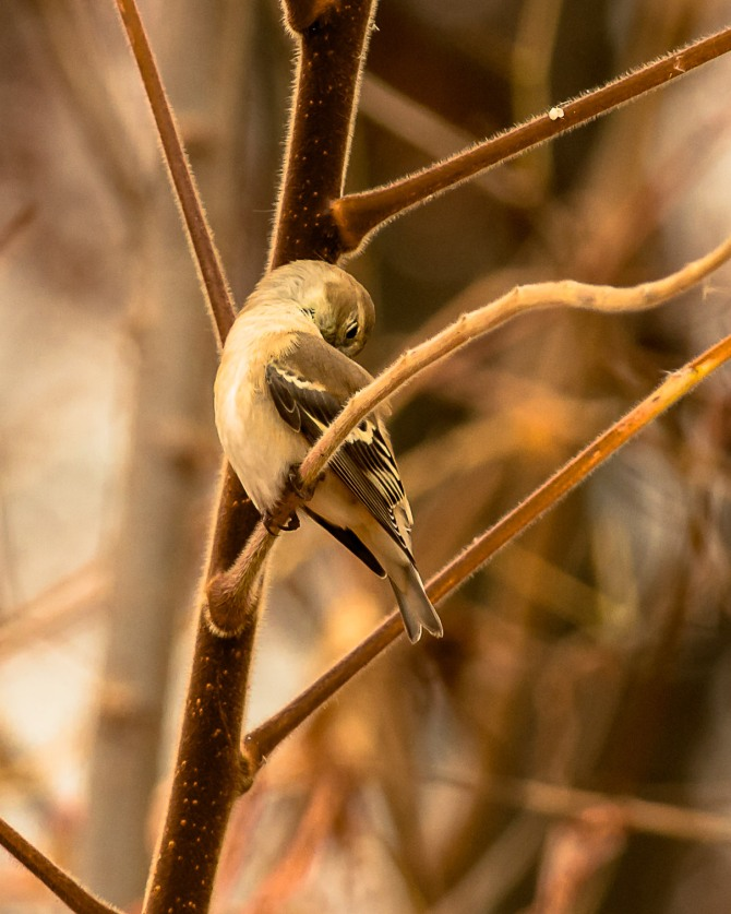 Goldfinch preening 3