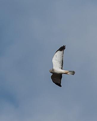Harrier meadow