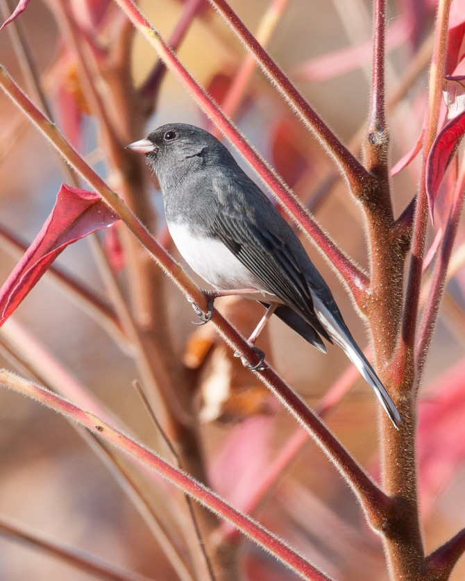 Junco feederwatch