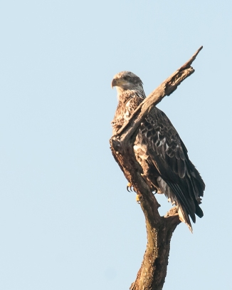 Young eagle at the entrance to Croton Point Park