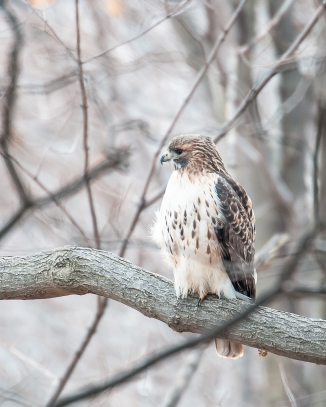 Red-tail hawk at Croton Nature Center watching the eagles