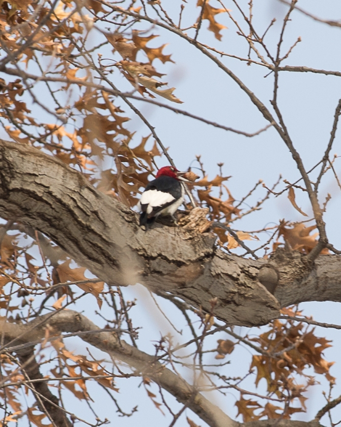 Red headed woodpecker Kingsland 2013-2