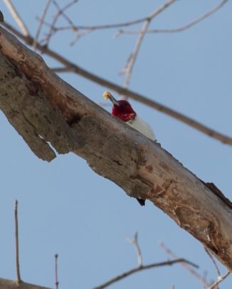 Red headed woodpecker Kingsland 2013-3