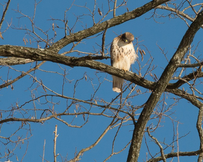 Red Tail Hunts at Croton-1