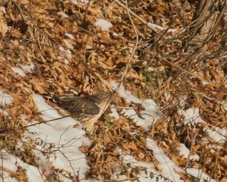 Red Tail Hunts at Croton-2