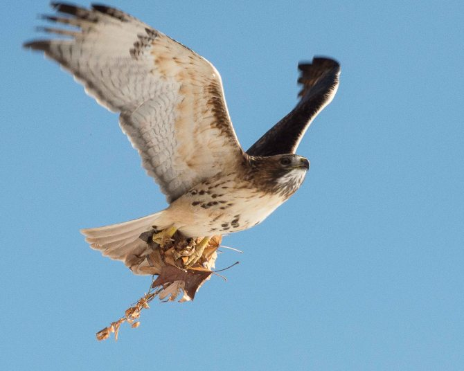 Red Tail Hunts at Croton-3