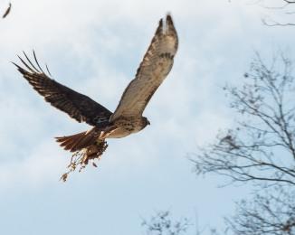 Red Tail Hunts at Croton-4