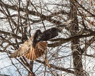 Red Tail Hunts at Croton-5