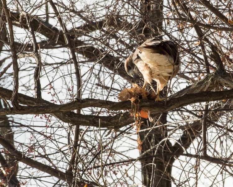 Red Tail Hunts at Croton-6