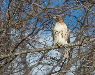 Red Tail Hunts at Croton-7