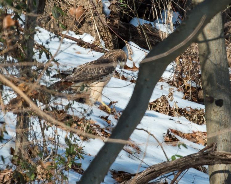 Red Tail Hunts at Croton-8