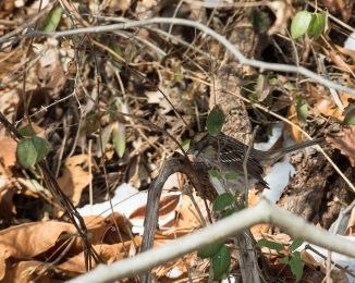 Red Tail Hunts at Croton-9