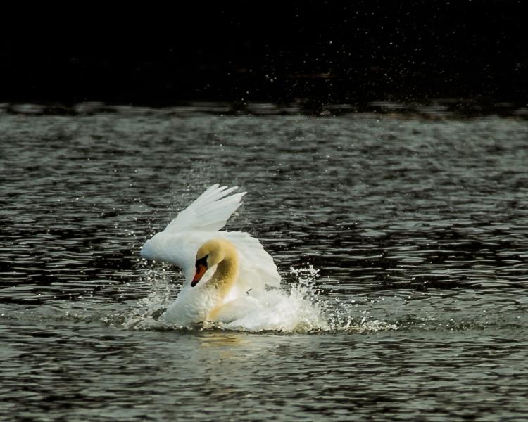 Swan bathing at Croton-6