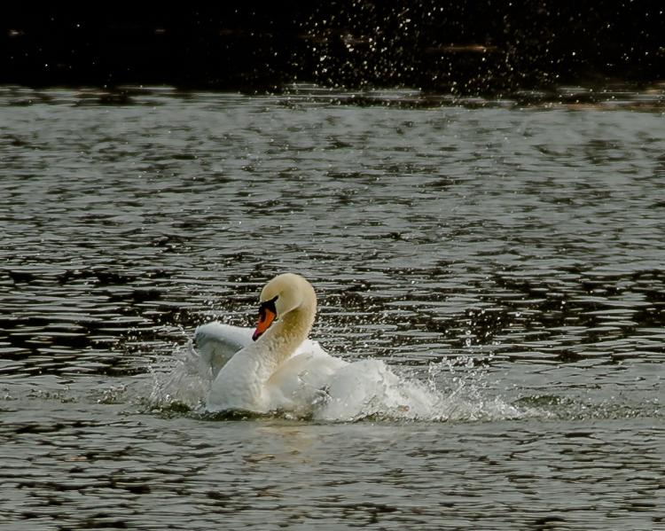 Swan bathing at Croton