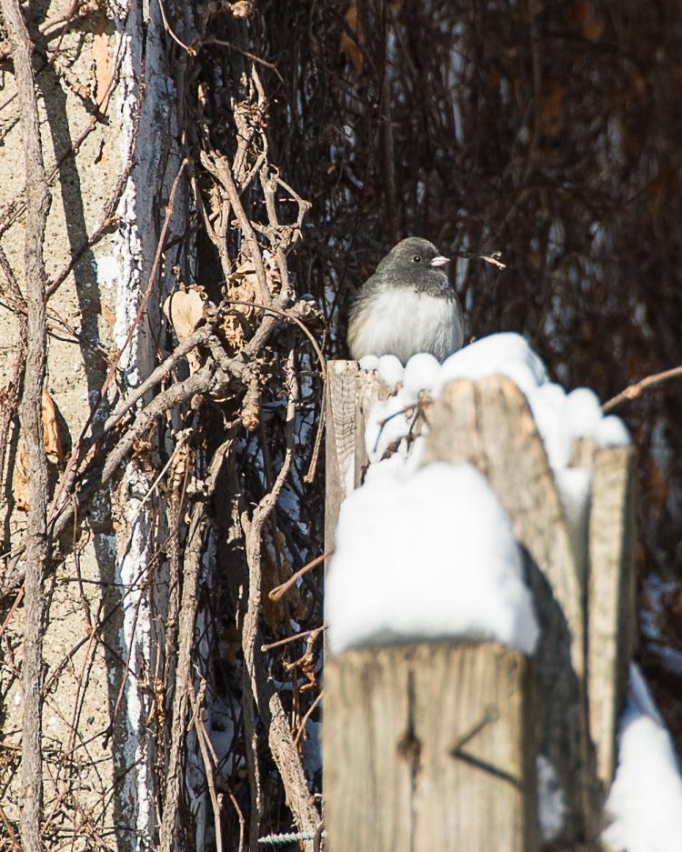 Backyard Birds Snow 2014-3