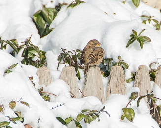 Backyard Birds Snow 2014-4