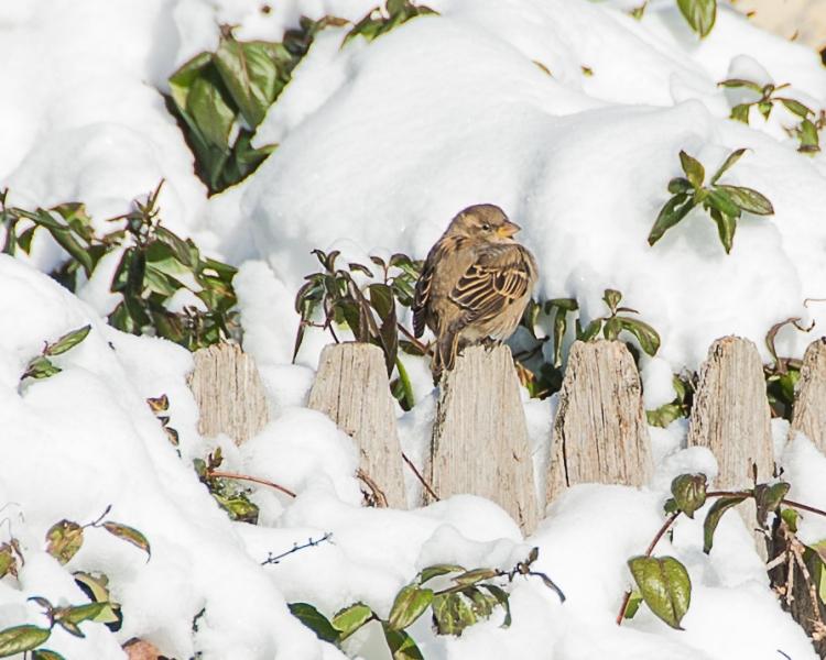 Backyard Birds Snow 2014-4