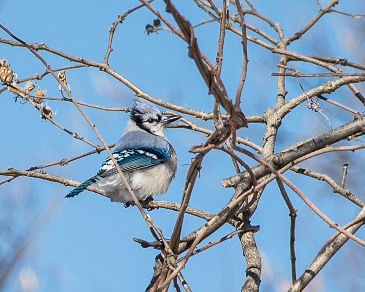 Backyard Birds Snow 2014-5
