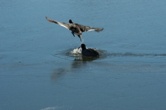 Coots on Ice.  Totally unedited.