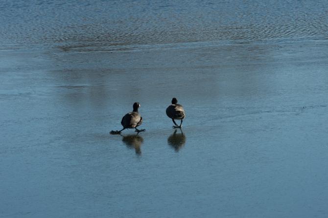 Coots Ice Skating Croton Jan 2014-5