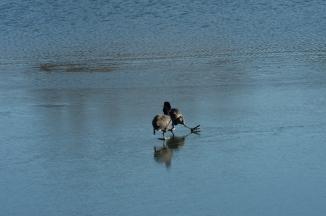 Coots Ice Skating Croton Jan 2014-6