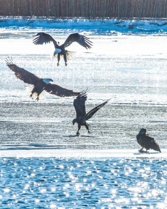 Croton Boat Ramp eagles with fish Jan 2014-21