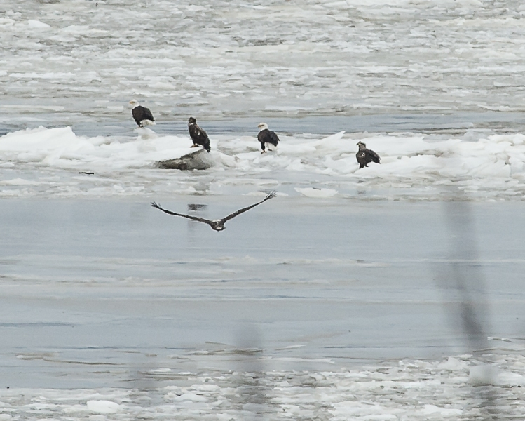 Five of the large group of eagles on the ice in the middle of the Hudson River