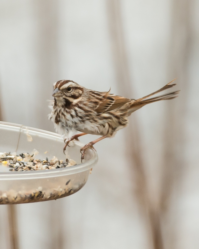 Song sparrow in the wind