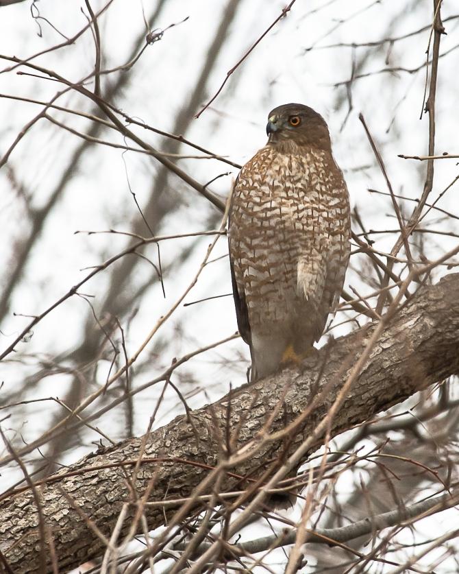 Cooper's hawk watching the feeders