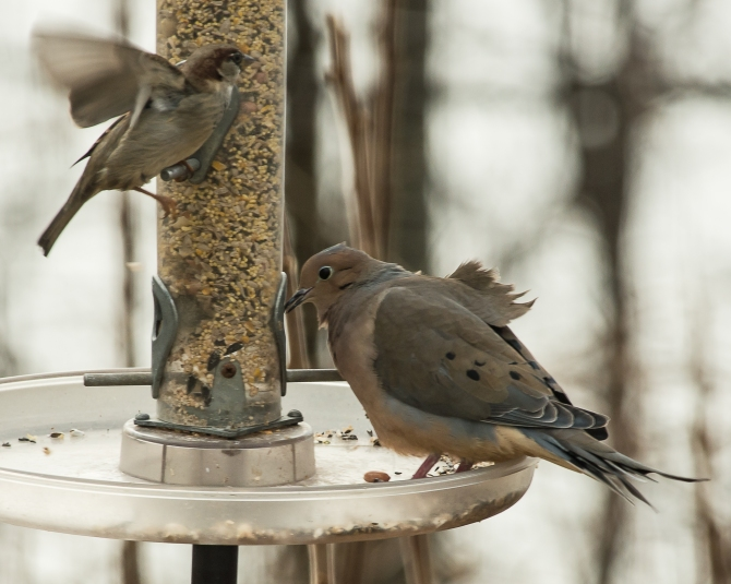 Mourning dove and sparrow hanging on