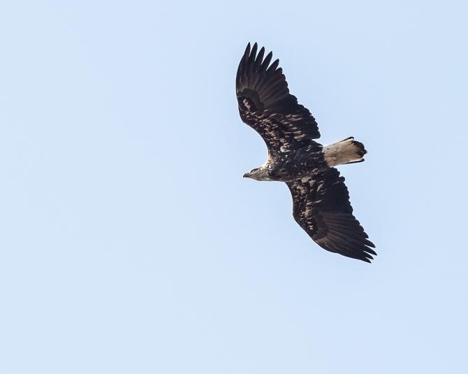Eagle at Croton Jan 2014-7