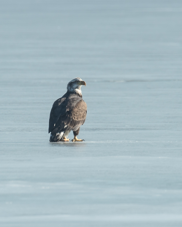 Eagles with fish Annsville Jan 2014-1