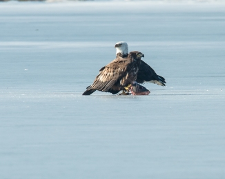 Eagles with fish Annsville Jan 2014-10