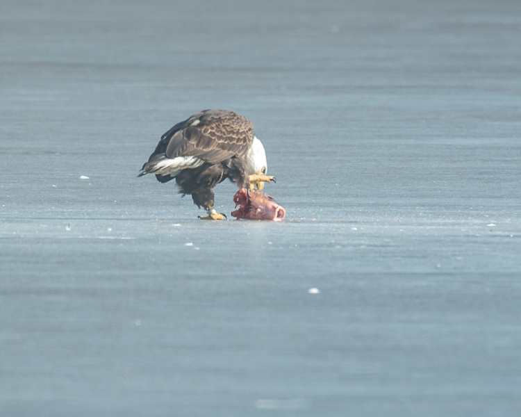 Eagles with fish Annsville Jan 2014-2