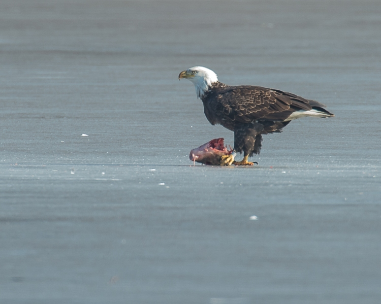 Eagles with fish Annsville Jan 2014-3