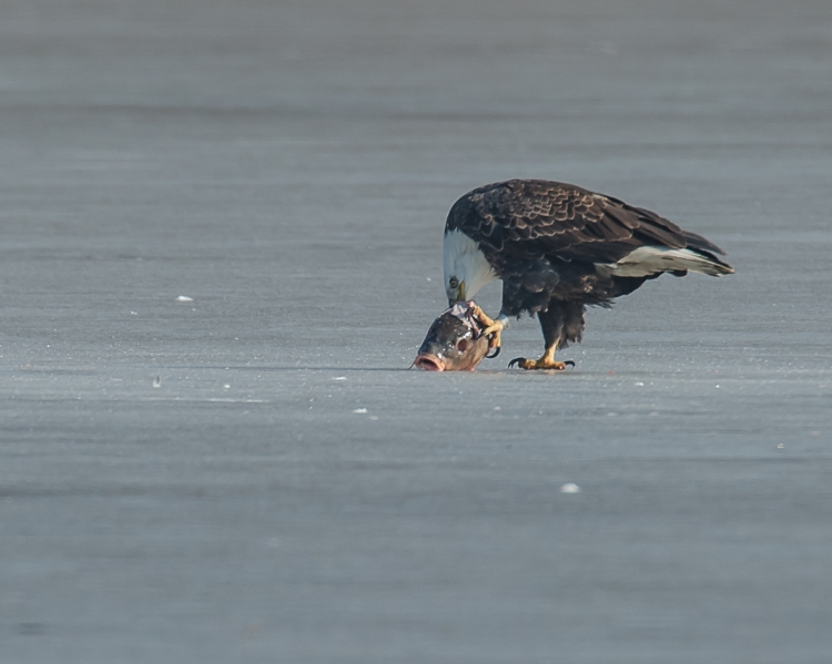 Eagles with fish Annsville Jan 2014-4