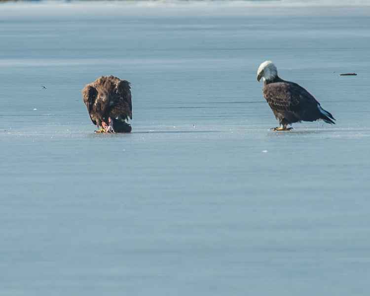 Eagles with fish Annsville Jan 2014-5