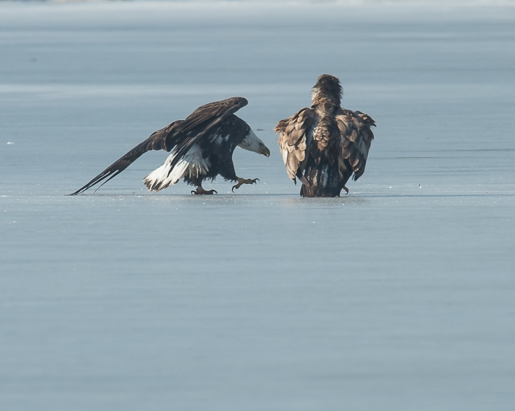 Eagles with fish Annsville Jan 2014-6