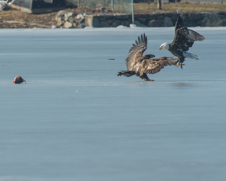 Eagles with fish Annsville Jan 2014-7